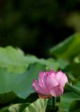En rosa lotusblommablomma Arkivbilder