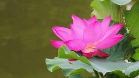 En rosa lotusblommablomma och lotusblomma sl?r ut i ett damm rosa lotusblommablomma och lotusblomma arkivfilmer