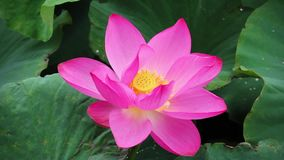 En rosa lotusblommablomma och lotusblomma sl?r ut i ett damm rosa lotusblommablomma och lotusblomma stock video