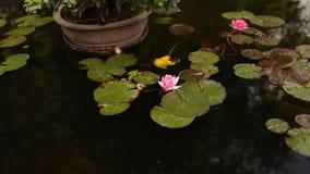 En rosa näckros, liljor som svävar på vatten arkivfilmer
