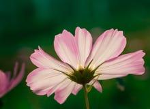 En rosa och vit kosmosblomma under panelljus på en grön bakgrund fotografering för bildbyråer