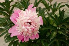 En rosa pion i trädgården Arkivfoto