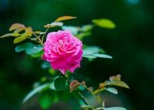 En rosa ro royaltyfri fotografi