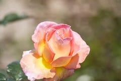 En rosa ro Royaltyfri Foto