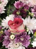 En rosa ro Arkivfoton