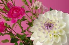 En rosa rosa buske och dahlia Royaltyfria Foton