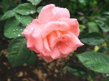 En rosa Rose Laden med regndroppar fotografering för bildbyråer