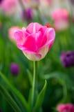 En rosa tulpan Fotografering för Bildbyråer