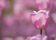 En rosa tulpan Arkivbilder