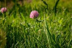 En rosa växt av släktet Trifoliumblomma är i grönt gräs i fält i naturligt mjukt solljus Bakgrund royaltyfri foto