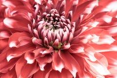 En rosa vit Scabiosa f?r n?ldynablomman columbaria g?llde art av solrosen, tusensk?nan, krysantemumet och zinniaen Det ?r ocks? arkivbilder