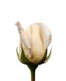 En Rose Bud Arkivbild