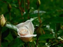 En Rose Bud Arkivfoton