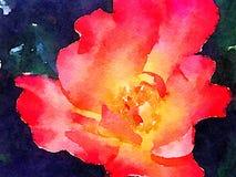 En Rose Is Just en ros Arkivbild