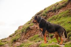 En Rottweiler hund som plattforer calmly på en kull arkivfoton