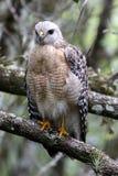 En rovfågel som sätta sig i det löst Royaltyfria Foton