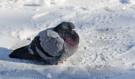 En rufsad duva sitter på snön Arkivfoto