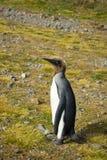 En rugga barnslig konung Penguin med bruna duniga fjädrar på dess Royaltyfri Bild