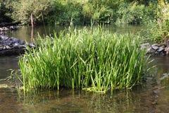 En rugge av starrgräset i vattnet Arkivbild