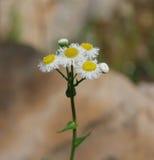 En rugge av vita eviga blommor, sideview arkivfoton