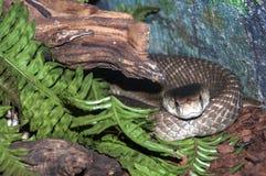 En rullad ihop kobra Royaltyfri Foto