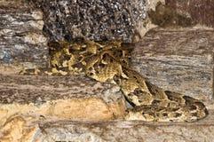 En rullad ihop kobra Royaltyfri Bild