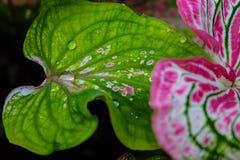 En rullning för vattenliten droppe på ett härligt rosa blad Angel Wing Fa Royaltyfri Bild