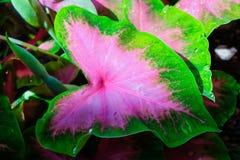 En rullning för vattenliten droppe på ett härligt rosa blad Angel Wing Fa Arkivfoto