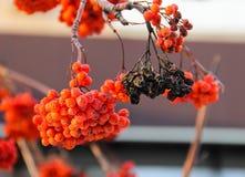 En rutten klunga av ashberry bland några röd-mogna klungor av ashberry Royaltyfri Fotografi
