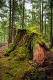 En ruttna cederträstubbe i en skog arkivbilder