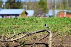 En sädesärlafågel royaltyfria foton