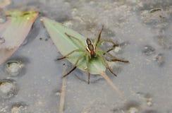 En sällsynt flottespindelDolomedes fimbriatus som sätta sig på ett blad i en dammjakt för mat fotografering för bildbyråer
