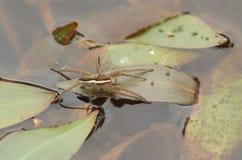 En sällsynt flottespindelDolomedes fimbriatus som sätta sig på ett blad i en dammjakt för mat royaltyfri fotografi