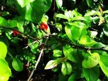 En sällsynt röd blomma blommar i botaniska trädgården arkivbild