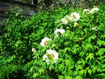 En sällsynt vit blomma blomstrar i en botanisk trädgård royaltyfri foto