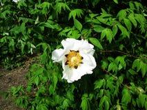 En sällsynt vit blomma blomstrar i en botanisk trädgård arkivbilder