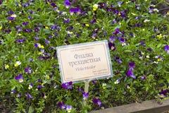 En säng av blomningaltfiolen som är tricolor i en botanisk trädgård Royaltyfri Fotografi