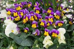En säng av violets Royaltyfri Foto
