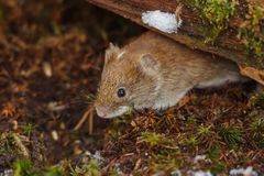 Sätta in volen som foraging under stupad tree i mossy undervegetation Royaltyfri Bild