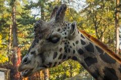 En sömnig giraff i den Riga zoo tuggar på något royaltyfri fotografi