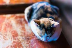 En sömnig katt Royaltyfri Bild