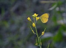 En sömnig orange fjäril på den gula blomman för senapsgult gräsplan arkivbild