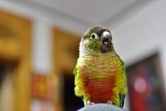 En sömnig papegoja royaltyfri fotografi