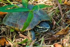 En sömnig sköldpadda som döljer under ett litet tunt stycke av grönt gräs och på skogskräp arkivfoton