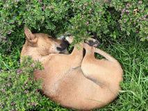En söt dröm av en hund i blommorna, Dhaka Royaltyfri Fotografi