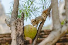 En söt kokosnöt arkivbild