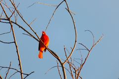 En söt sång från naturen royaltyfri foto