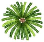 En sagopalmträd Arkivfoton