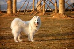 En Samoyed Fotografering för Bildbyråer