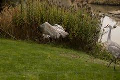 En sandhillkran som spelar med en rugge av grönt gräs royaltyfri bild